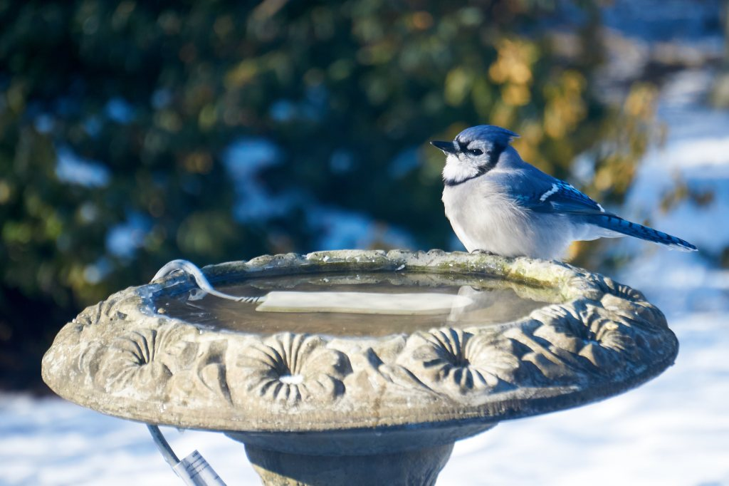 Blue Jay at bird bath