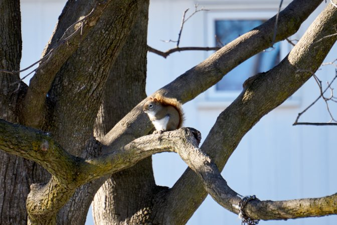 American Red Squirrel on tree branch