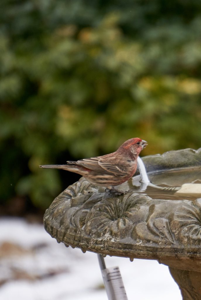 House Sparrow on bird bath