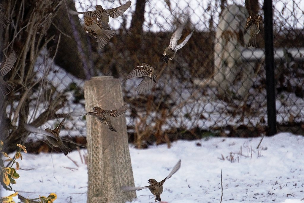 House Sparrows taking to the air