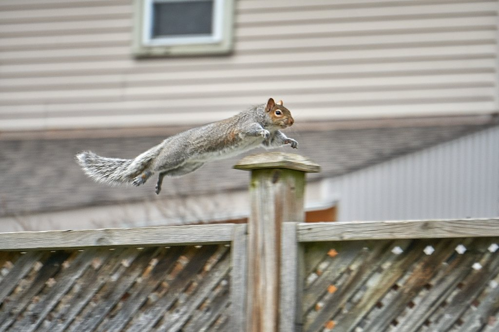 Eastern Grey Squirrel takes to the air over fence post