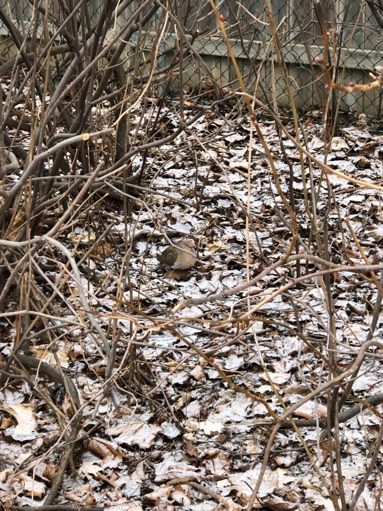 Mourning Dove in bushes