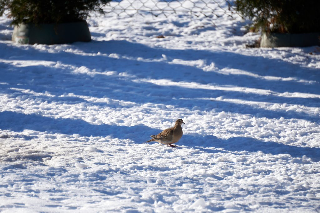Mourning Dove on snow