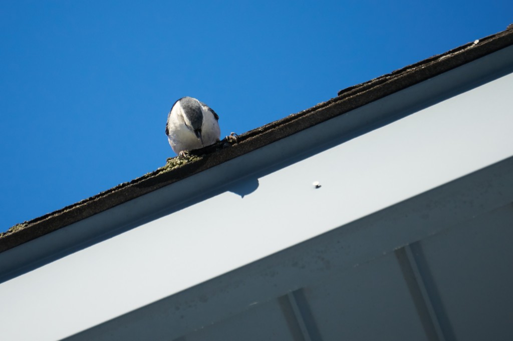 White Breasted Nuthatch on a roof